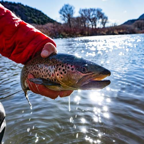fisherman holding brown trout