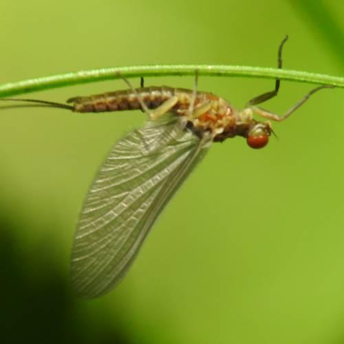mayfly fly hatch